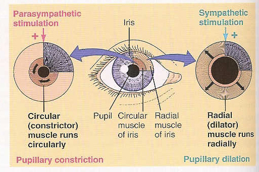 Mathematics 309- The Human Eye